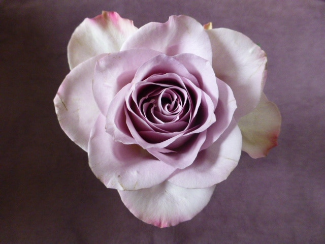 Meditation Rose